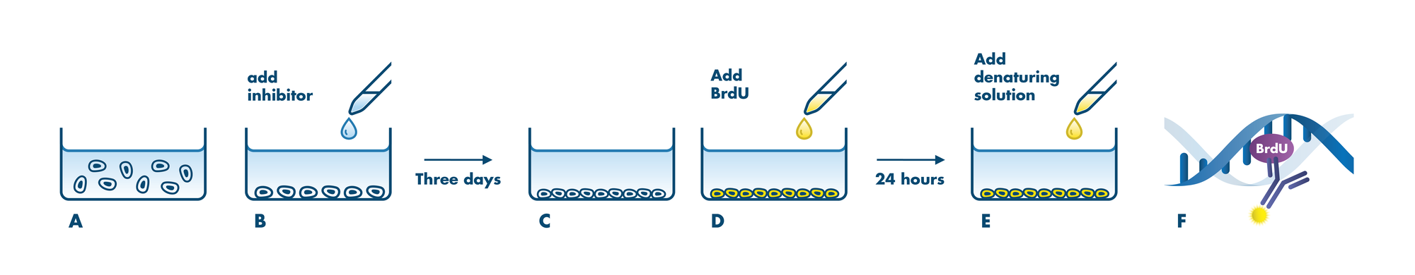 BrdU Assay