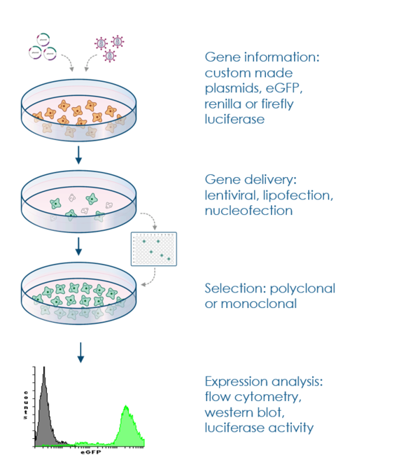 procedure to stably transfect cell lines for expression of genes
