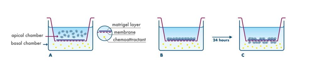 principle of the invasion assay for testing metastasis in a transwell system
