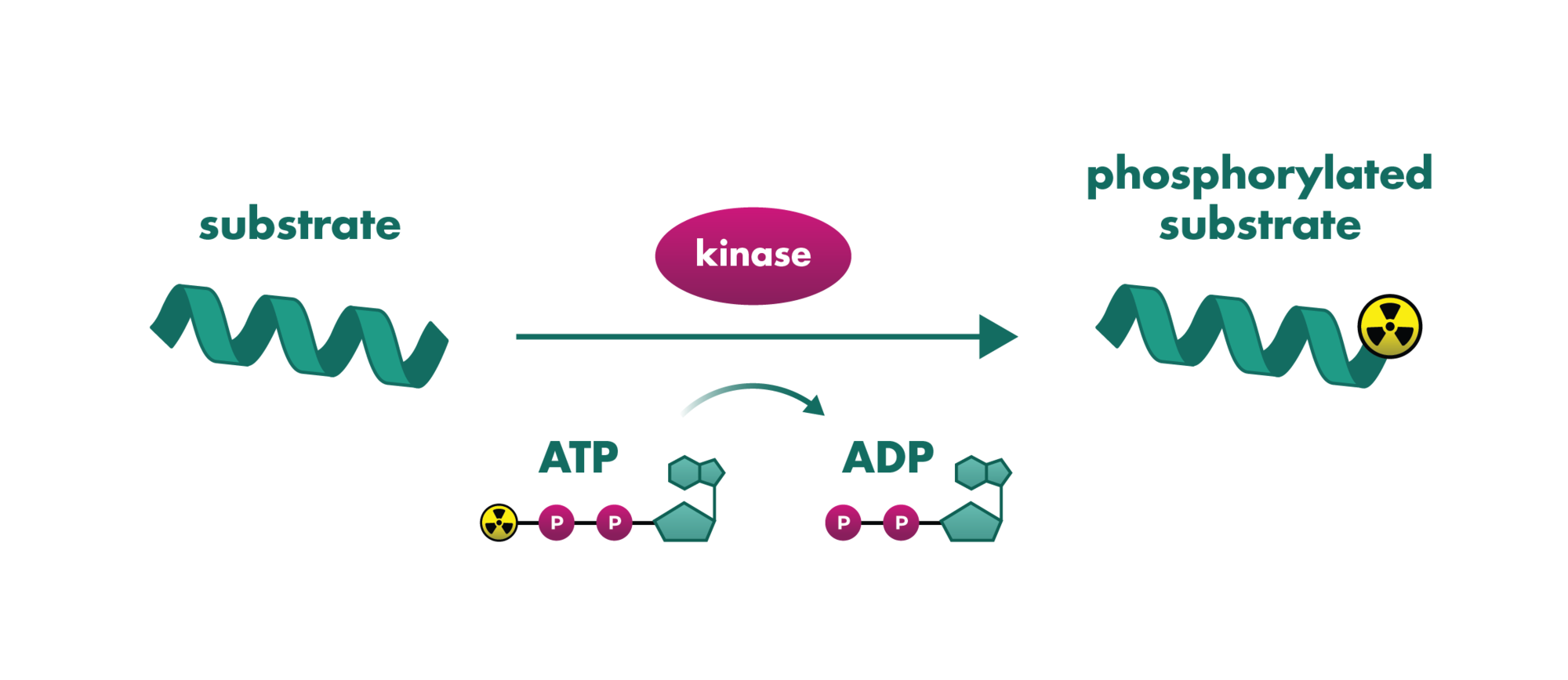 Principle of radiometric kinase activity assay for kinase inhibitor screening.. Radioactive phosphate get's transferred to the kinase substrate. the now radioactive substrate get's quantified.