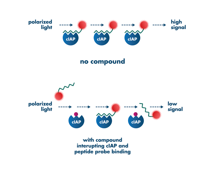 Example of fluorescence polarization assay principle for screening compounds targeting cIAP