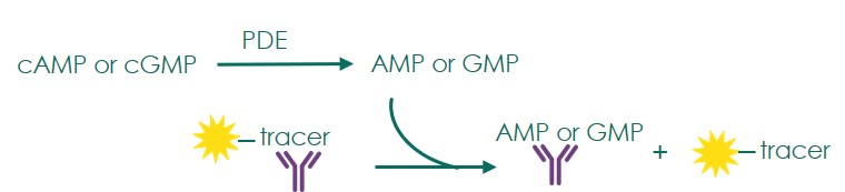 Assay principle for compound screening against phosphodiesterases based on quantification of a fluorescent tracer with the transcreener AMP2/GMP2 kit