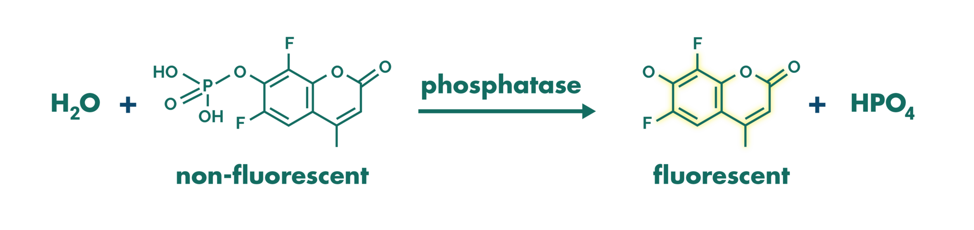 Principle of phosphatase assay with the fluorogenic substrate difmup.