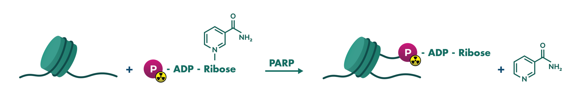 Assay principle of PARP compound screening based on transfer of 32P-labelled ADP-ribose onto histones