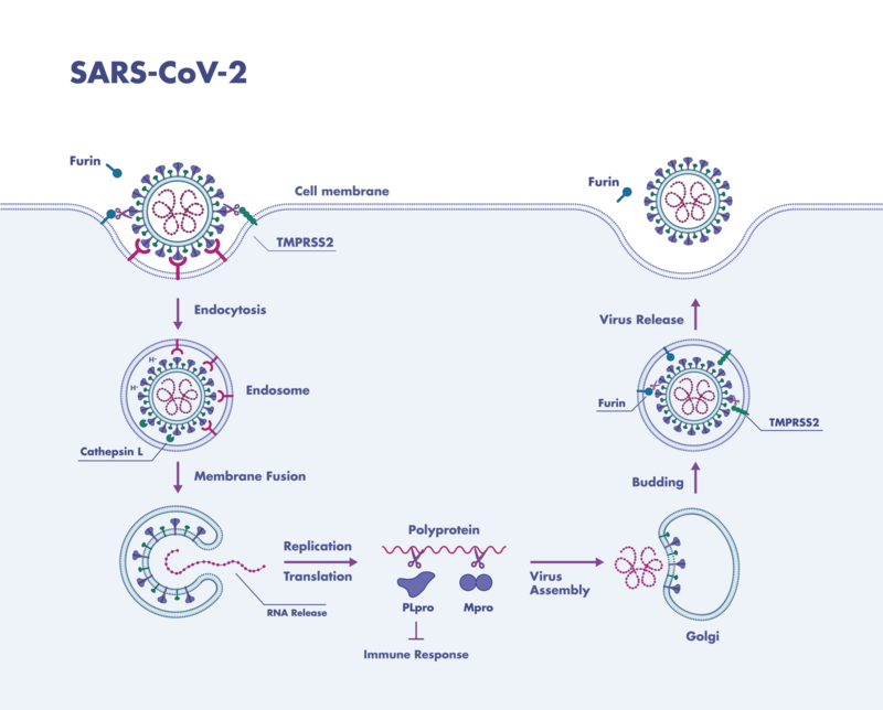 The role of proteases in the replication of SARS-CoV-2 including intervention points for testing of new covid-19 drug candidates as example for coronavirus treatment